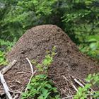 Učešće u realizaciji Rufford projekta Zaštita šumskih mrava BiH/ Participated in the realization of the Small Grant Rufford project B&H