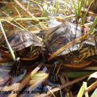 Strane invazivne vrste – sve veća prijetnja biološkoj raznovrsnosti
