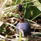 Podržimo zaštitu šumskih mrava u Bosni i Hercegovini!