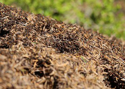 Mravinjak_004