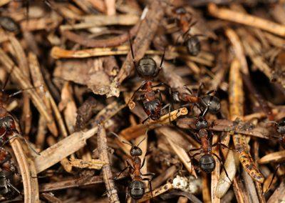 Mravinjak_007