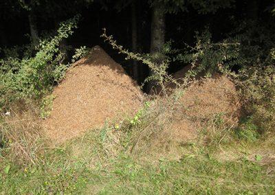 Mravinjak_009
